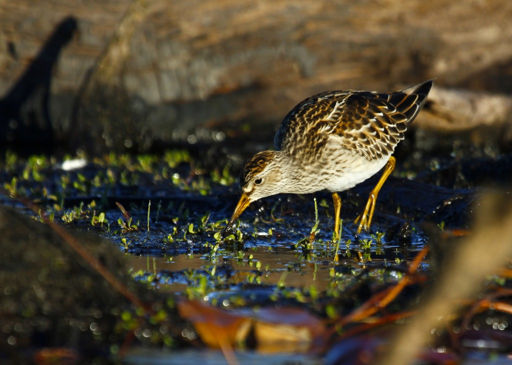 Here's one more of the Pectoral Sandpiper, Morningside Park, 9/29/13.