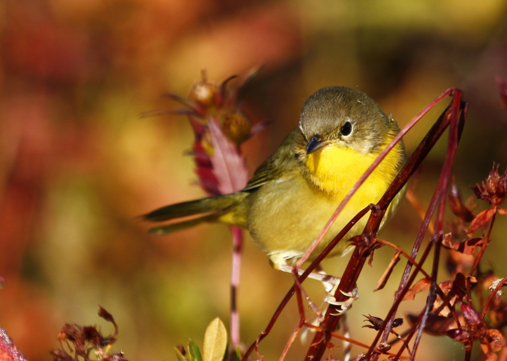 This Common Yellowthroat could not have been more cooperative, Morningside Park, 9/29/13.