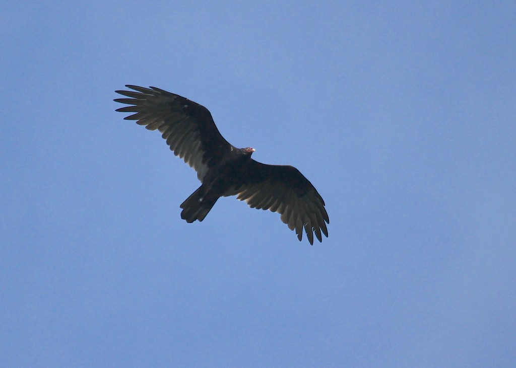 Turkey Vulture NOT migrating. Mt. Peter Hawk Watch, 9/10/13.