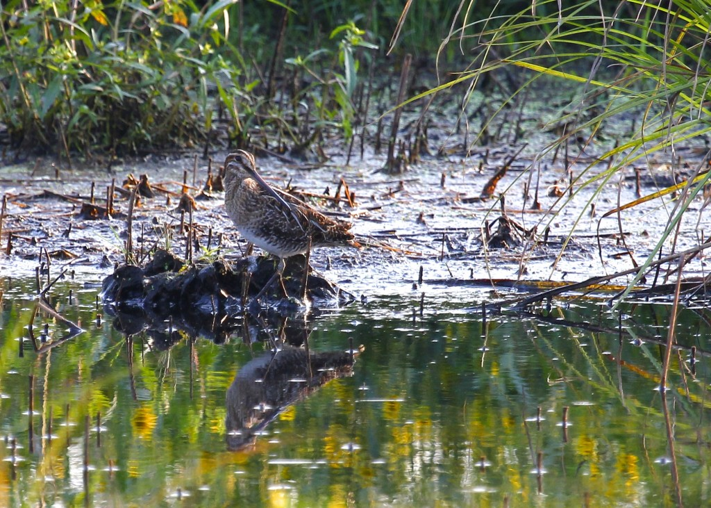 Wilson's Snipe at Wallkill River NWR, 9/10/13.