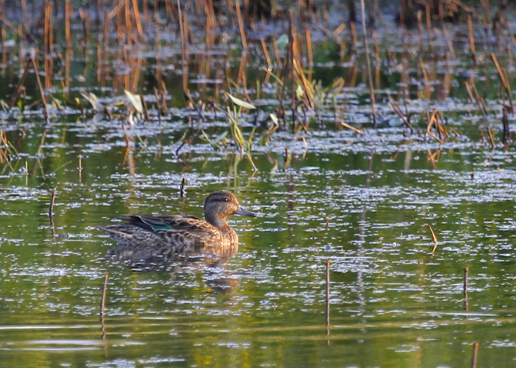 Green-winged Teal at Wallkill River NWR 9/10/13.