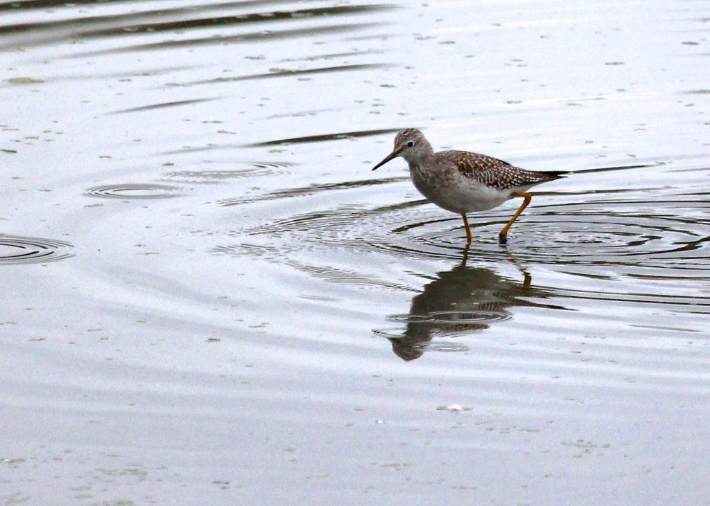 One of 11 Lesser Yellowlegs seen today at 6 1/2 Station Road Sanctuary.