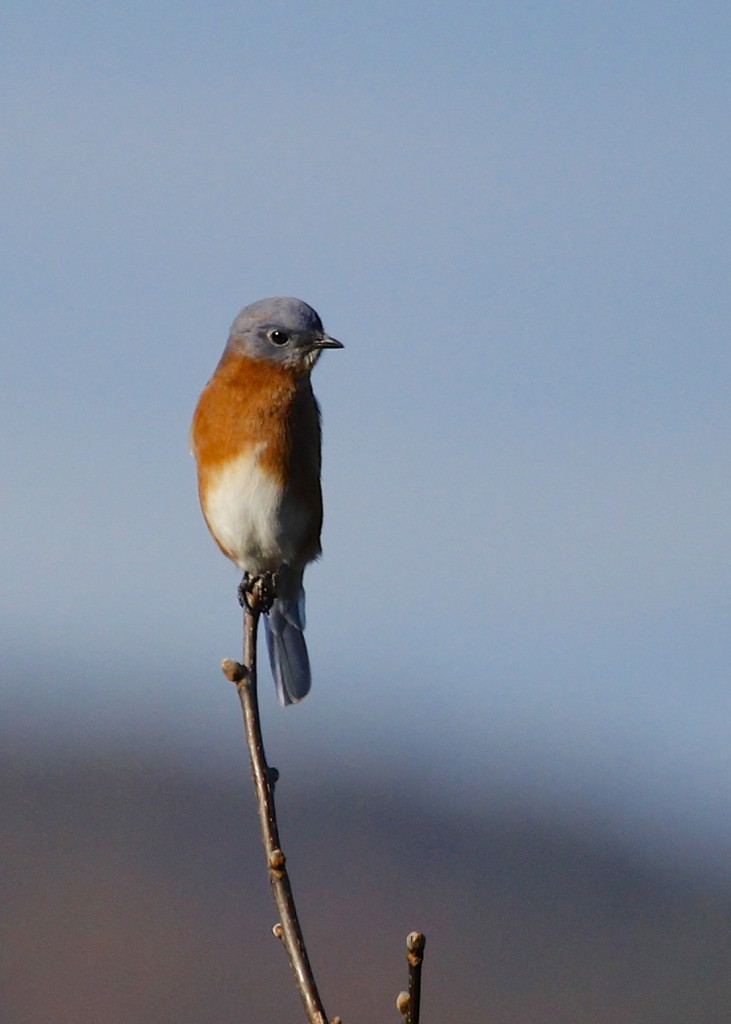 I was very pleased to find four Eastern Bluebirds first thing in the morning at Mt. Peter Hawk Watch.