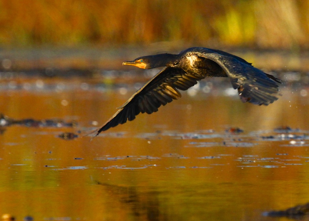 A Double-crested Cormorant takes off. Glenmere Lake, 10/13/13.