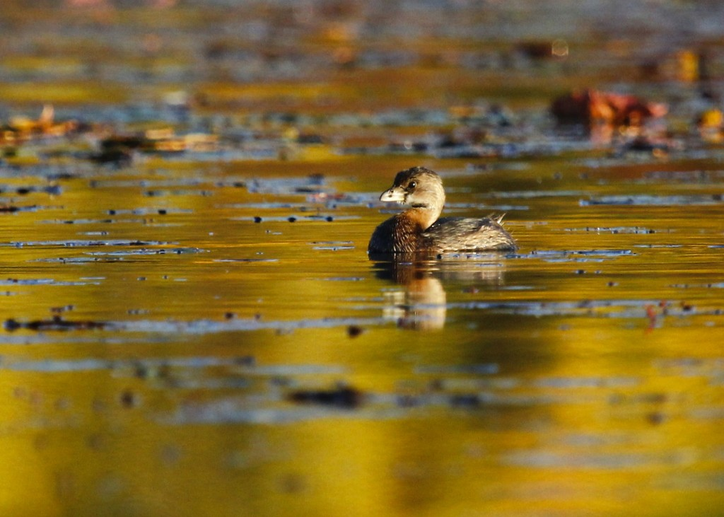 A Pied-billed Grebe caught in the first rays of sun for the day. Glenmere Lake, 10/13/13.