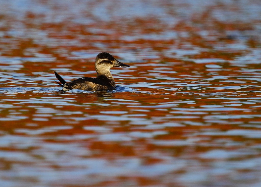 Ruddy Duck on a red lake. Glenmere Lake, 10/13/13.
