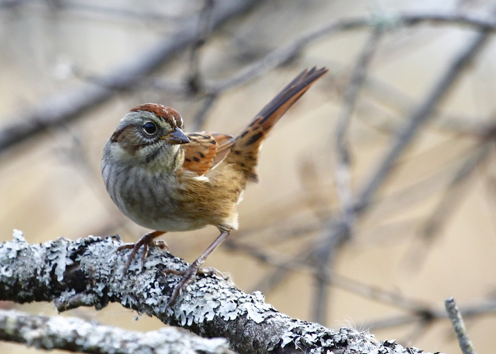 Swamp Sparrow at 6 1/2 Station Road Sanctuary, 10/17/13.
