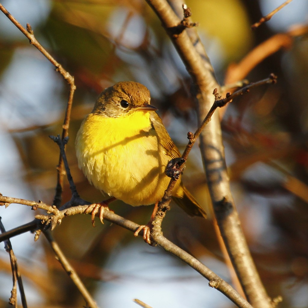 Common Yellowthroat at