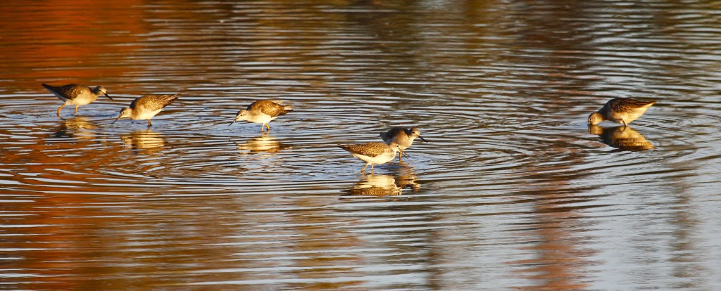 Five Lesser Yellowlegs and one Long-billed Dowitcher congregate on the near side of the pond.