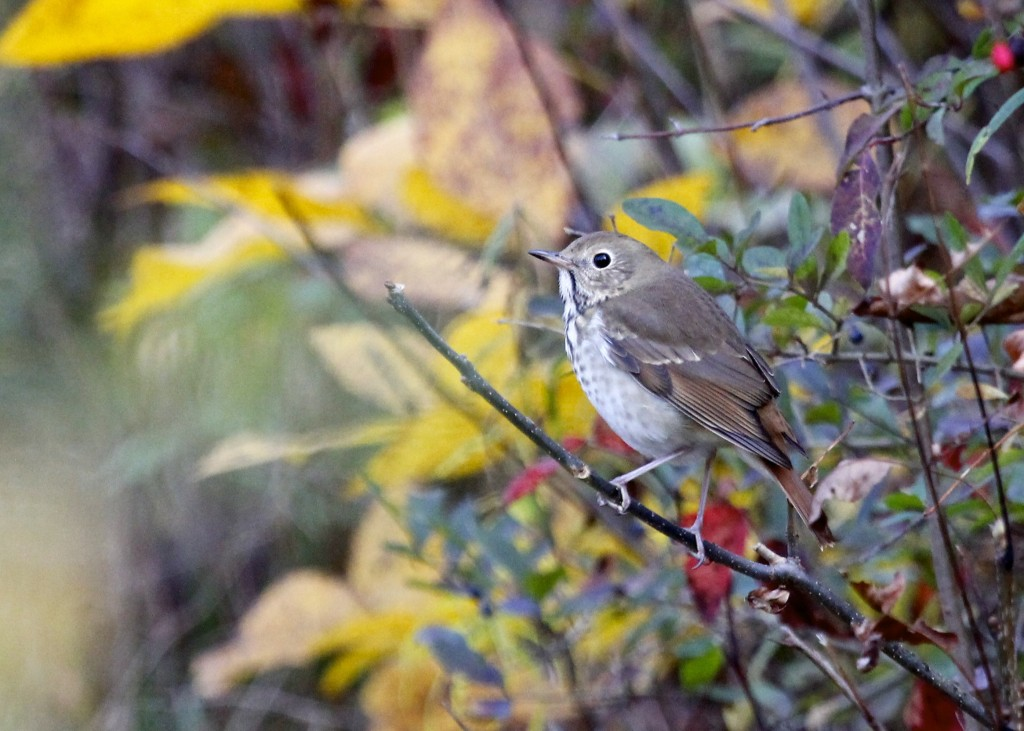 This bird was the highlight of   my day - Hermit Thrush at Mt. Peter Hawk Watch, 10/19/13.