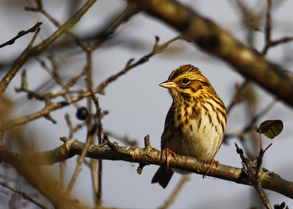 Savannah Sparrow at 6 1/2 Station Road Sanctuary, 10/24/13.