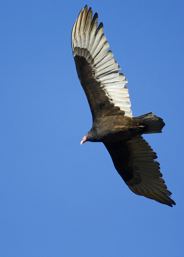 And, here is my weekly Turkey Vulture photo. I have started to enjoy the challenge of getting a decent exposure with this bird each week. Mt. Peter Hawk Watch, 10/26/13.