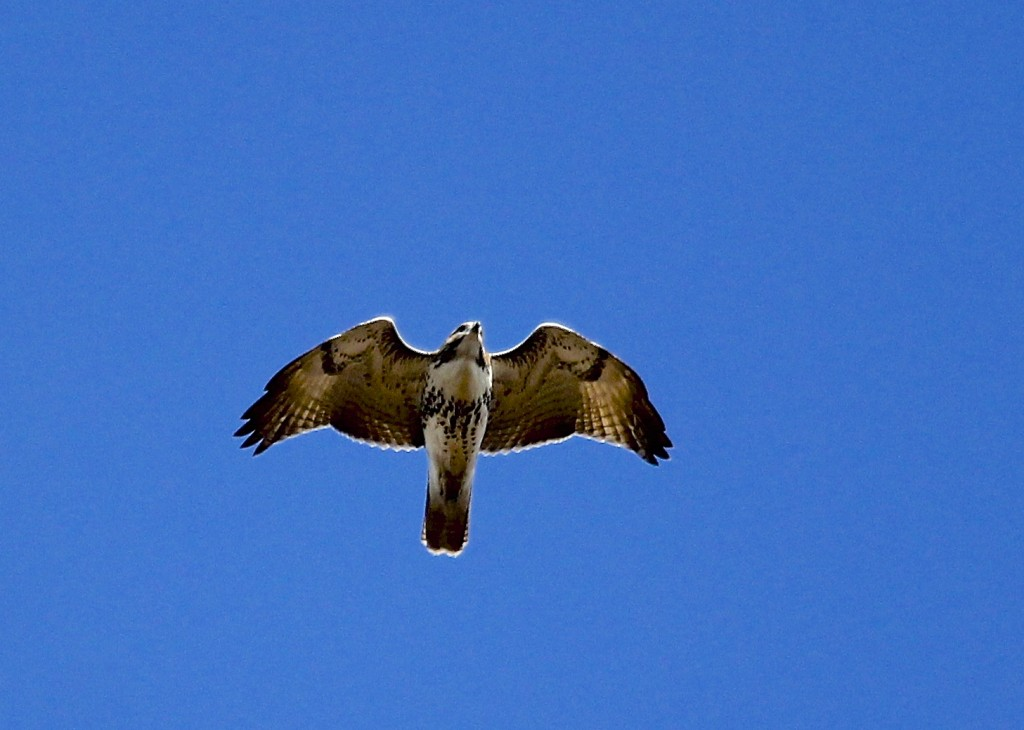 A local Red-tailed Hawk flies over the platform. Mt. Peter Hawk Watch, 10/26/13.