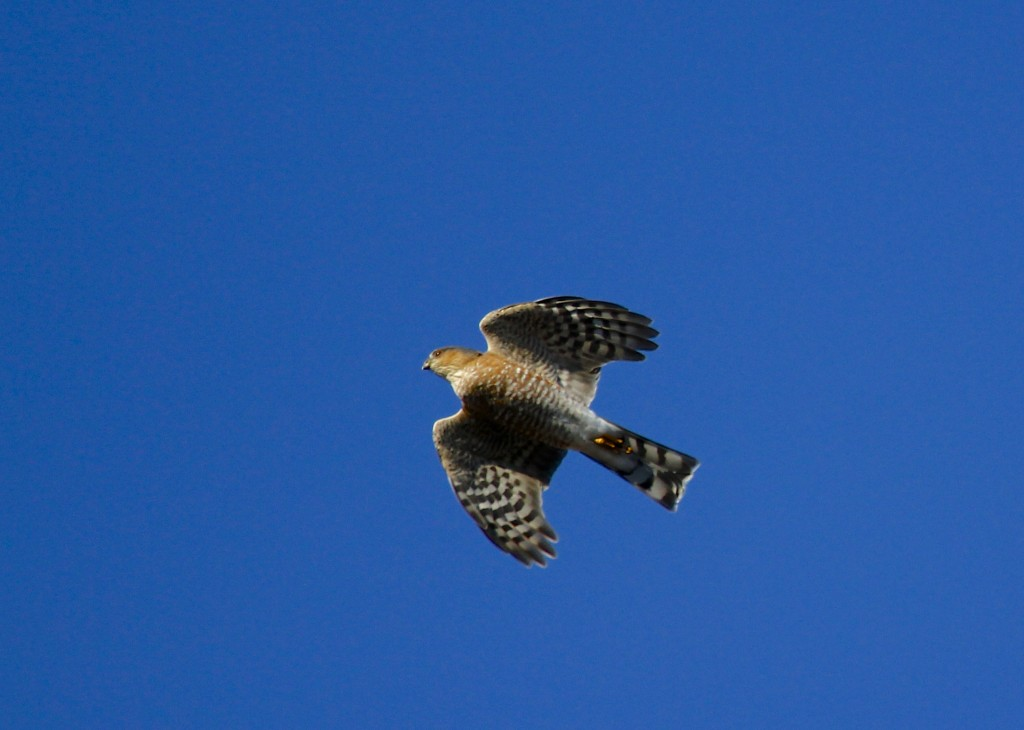 A low flying Sharp-shinned Hawk, flying right over my head. Mt. Peter Hawk Watch, 10/26/13.