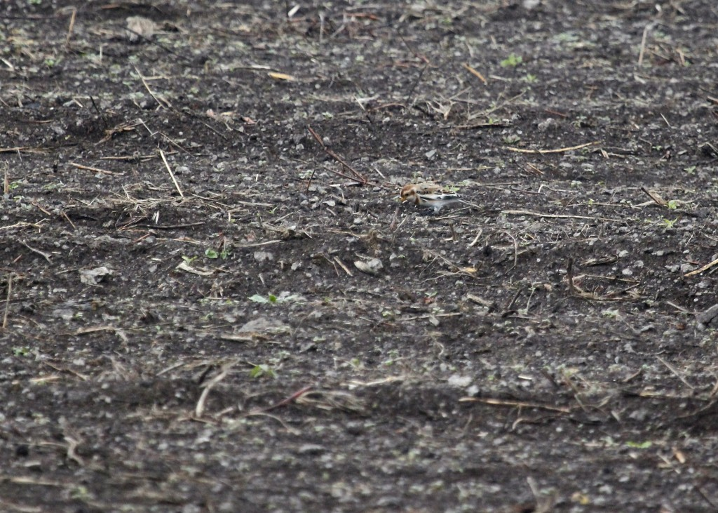 Here's a distant, blurry, grainy shot of one of the two Snow Buntings at Skinner Lane, 10/31/13.