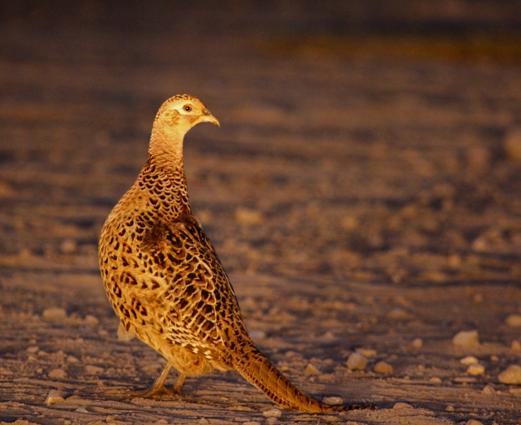 A Ring-necked Pheasant in the headlights, Skinner Lane 11/6/13.