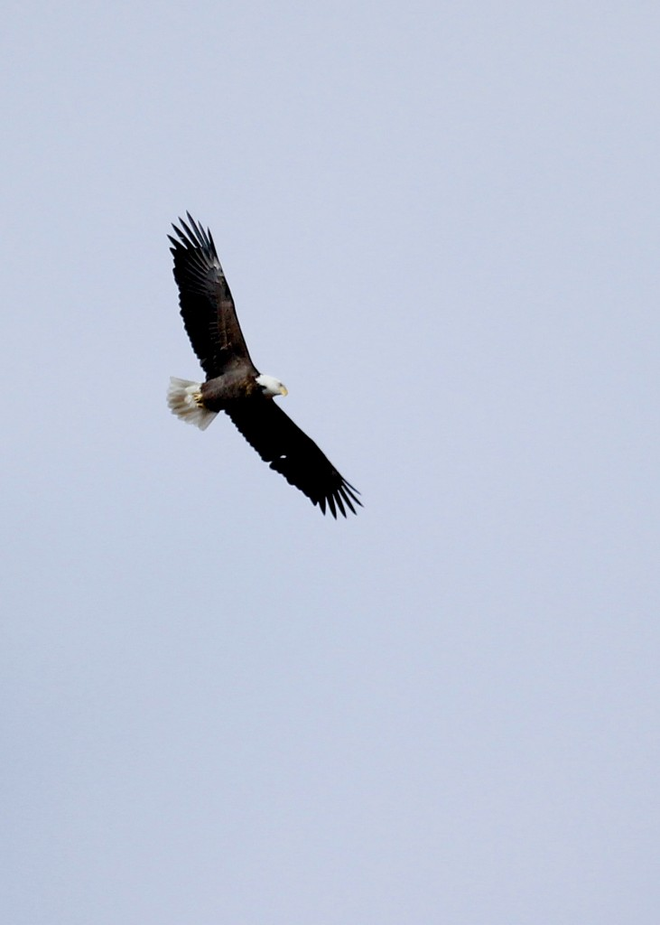 I got a really good look at this immature Bald Eagle, Mt. Peter Hawk Watch, 11/9/13.