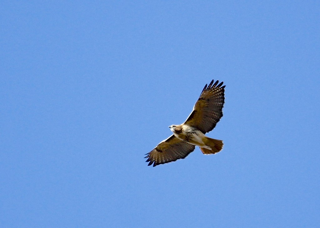 A Red-tailed Hawk passes over the viewing platform at Mt. Peter Hawk Watch, 11/9/13.