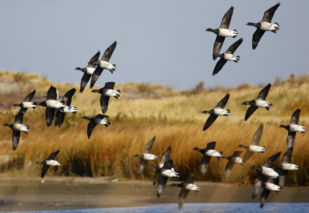 It was really great to see the all the Brant at Sandy Hook, 11/10/13.