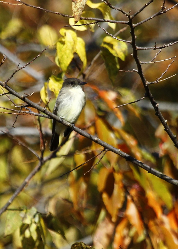 Eastern Phoebe in a pretty setting at Sandy Hook, 11/10/13.