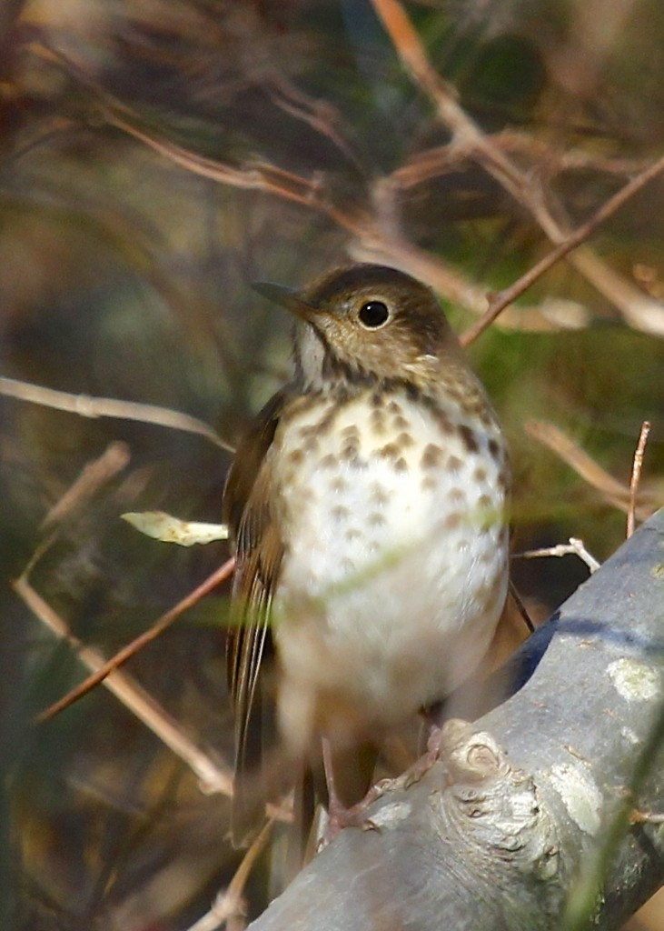 Hermit Thrush at Sandy Hook, 11/10/13.