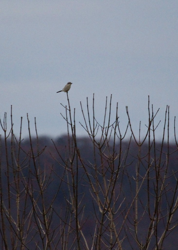 Northern Shrike in the distance. Lower Wisner Road in Warwick, 11/11/13.