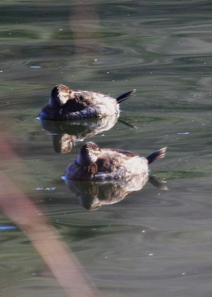 These Ruddy Ducks were close by, but all tucked away. Brown's Pond, 11/23/13.