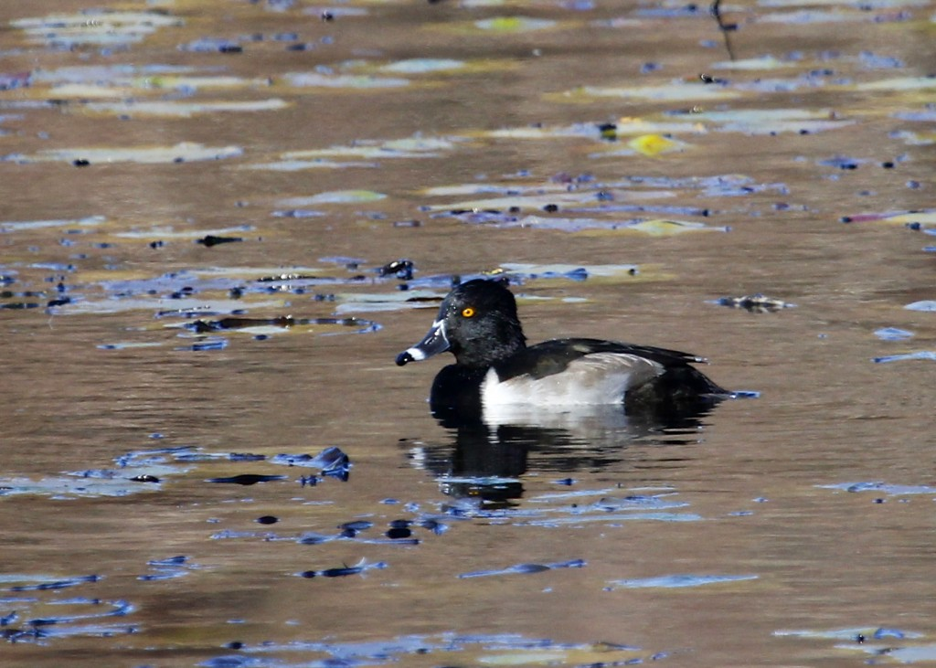 It's tough to get close enough to most waterfowl to get photos. One of 24 Ring-necked Ducks at