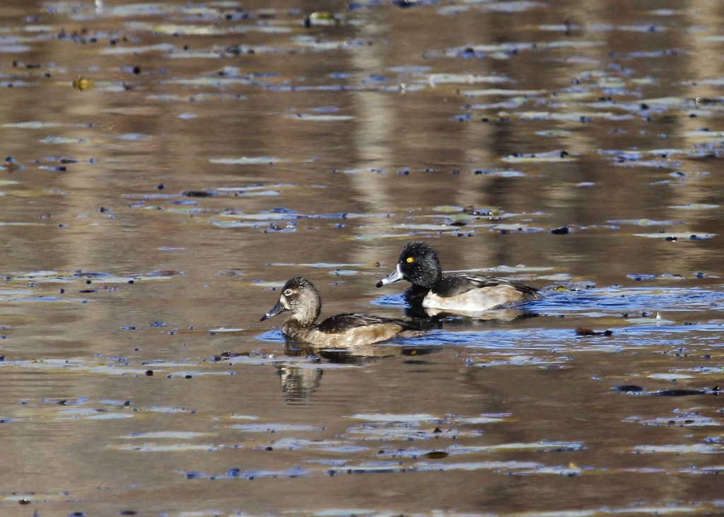 Orange-Rockland Lake was the best stop for photos by far. A pair of Ring-necked Duck