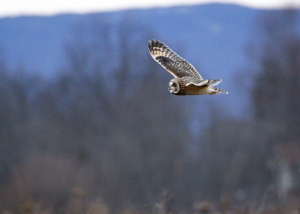 A very grainy shot of a SEOW. My ISO was at 3200 for this shot! Shawangunk Grasslands, 11/23/13.