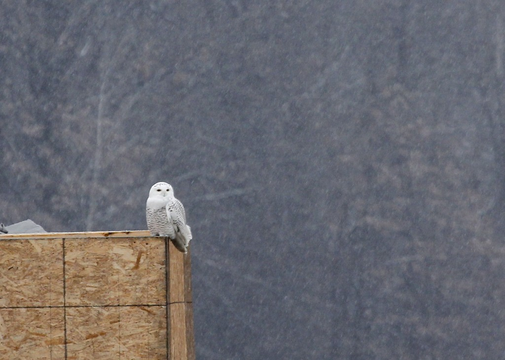 Wow! Snowy Owl in Orange County 11/26/13.
