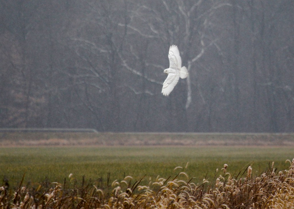 Another angle of the SNOWY OWL in flight. Black Dirt Region, Orange County NY 11/26/13.