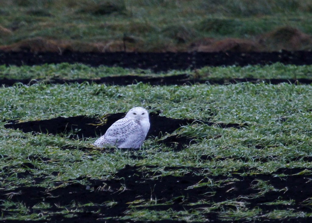 The second Snowy Owl in as many days. Black Dirt Region, Orange County NY 11/27/13.