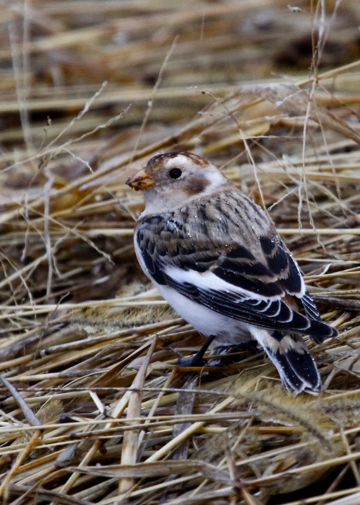 Snow Bunting in the rain. Black Dirt Region 11/27/13.
