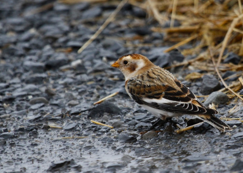 Snow Bunting in the Black Dirt Region, Orange County NY, 11/27/13.