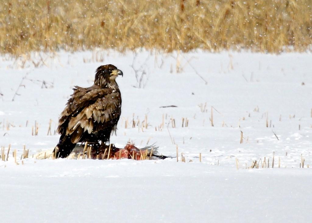 An immature Bald Eagle enjoys a meal at Montezuma NWR, 11/28/13.