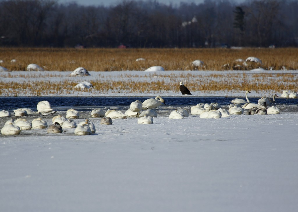 I saw plenty of Tundra Swans, but unfortunately no Trumpeters. These birds were completely unconcerned with the adult Bald Eagle hanging out nearby. Montezuma NWR, 11/28/13.