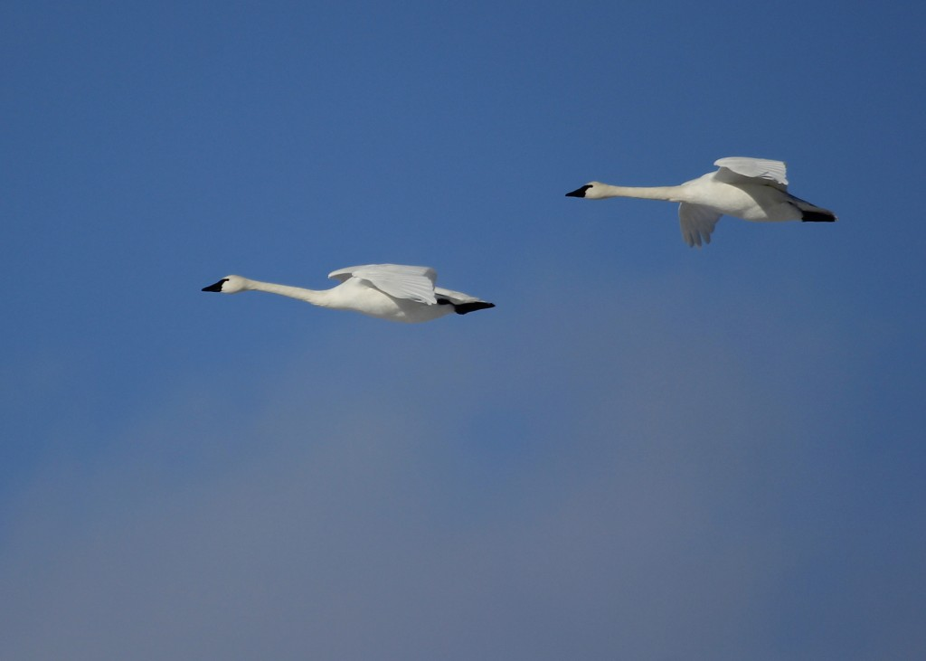 Tundra Swans in flight at Montezuma NWR, 11/28/13.