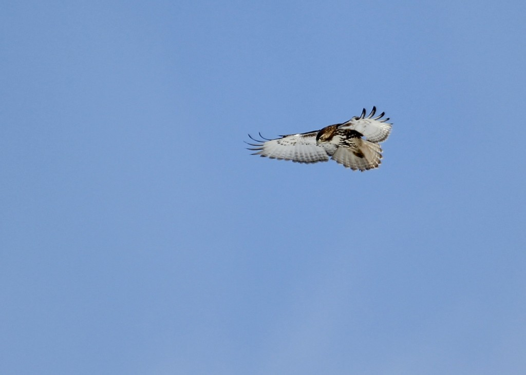 At first glance I thought this bird was a Rough-legged Hawk because of the way it was hunting - hovering and flapping. Red-tailed Hawk at Montezuma NWR 11/28/13.