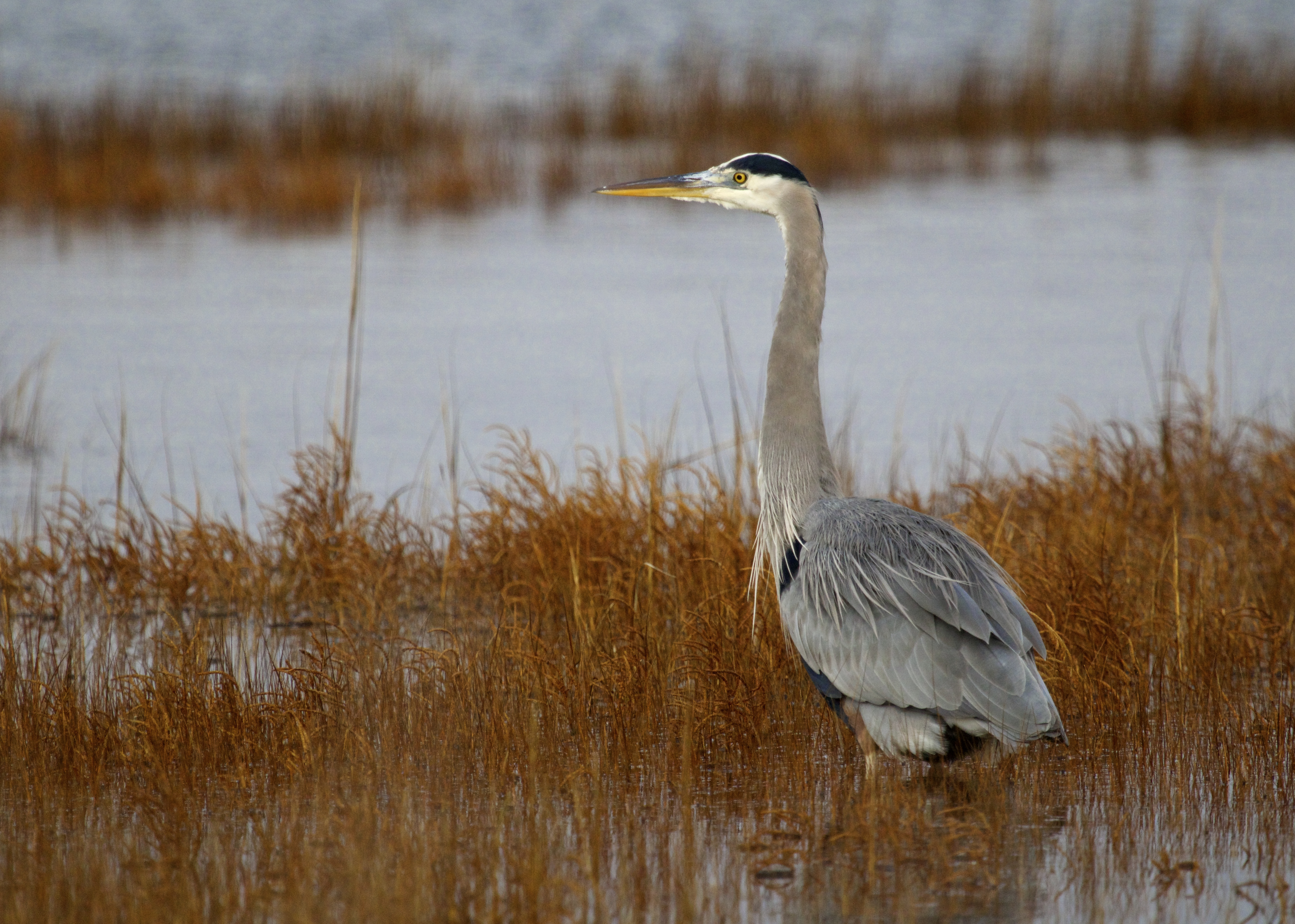 I feel like it's been a while since I've gotten close enough to a Great Blue Heron for a photo. This one was on Captree Island, 12/15/13.