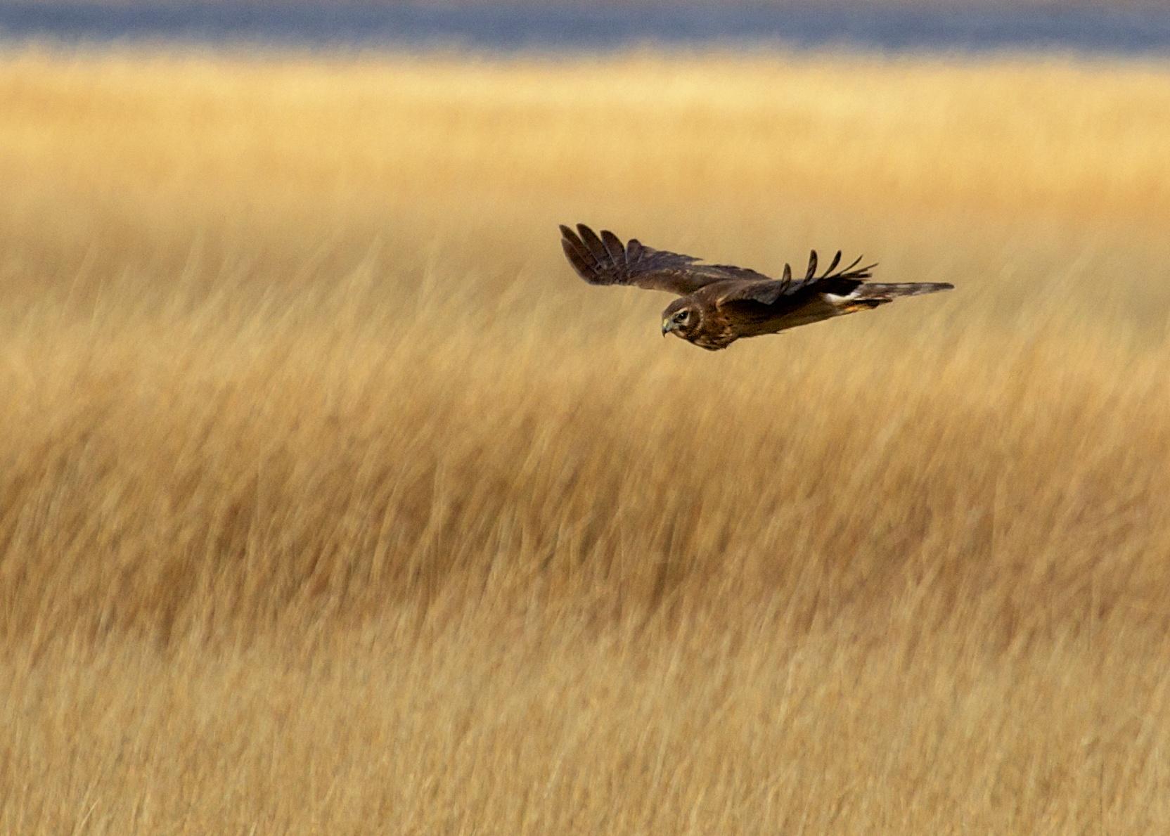 Nothern Harrier, I think this bird was at Oak Beach, 12/15/13.