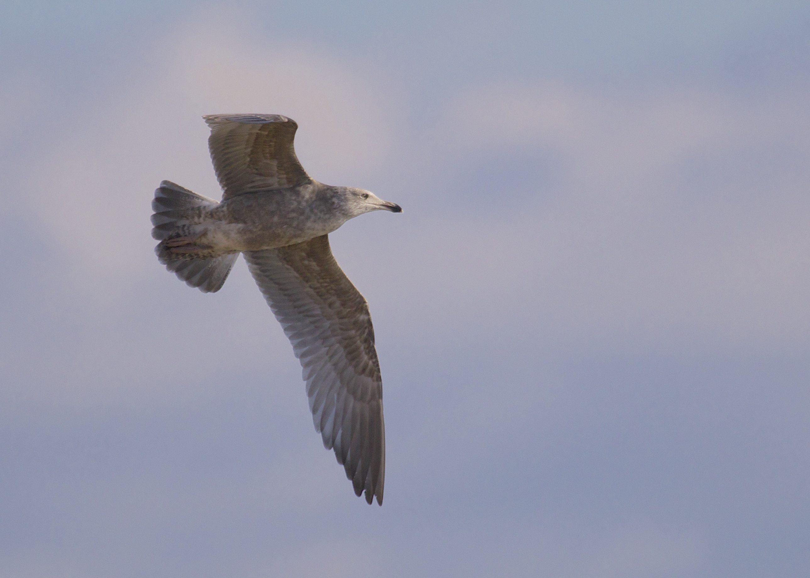 I have this as a first winter Herring Gull. Oak Beach, 12/15/13.