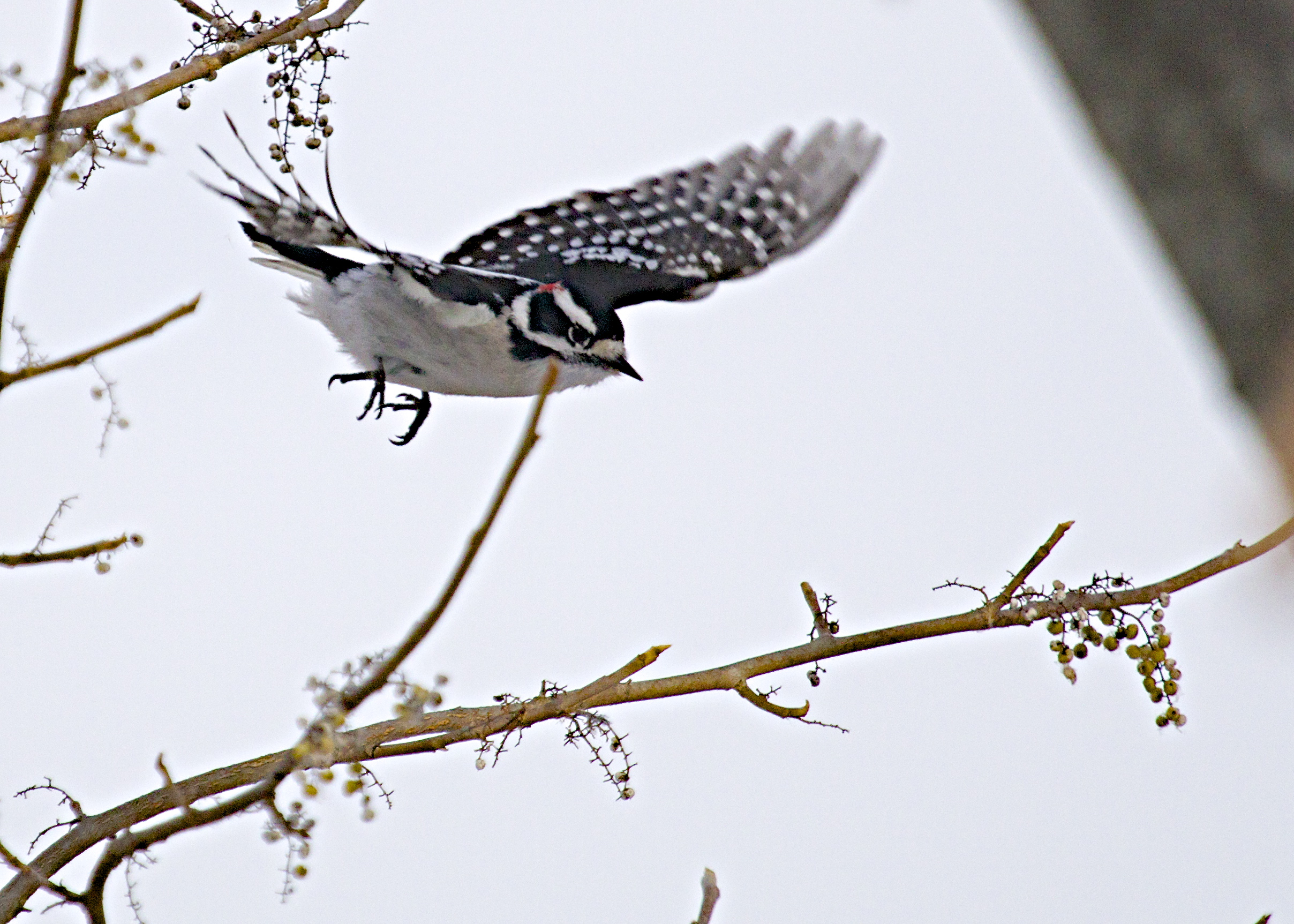 Downy Woodpecker at 6 1/2 Station Road Sanctuary, 12/12/13.