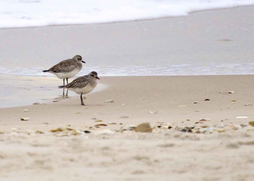 …and several Black-bellied Plovers. All at Cupsogue County Park, 12/26/13.