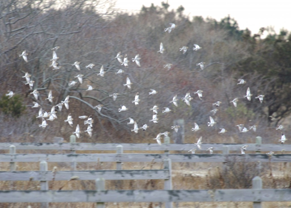 Always a favorite, we had a large flock of Snow Buntings on Dune Road. There were close to 100 birds in the flock, by far the most I've ever seen.