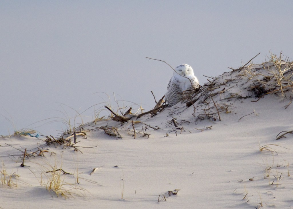 This was the first Snowy Owl of the day, located on Dune Road, just east of Tiana Beach, 12/26/13.