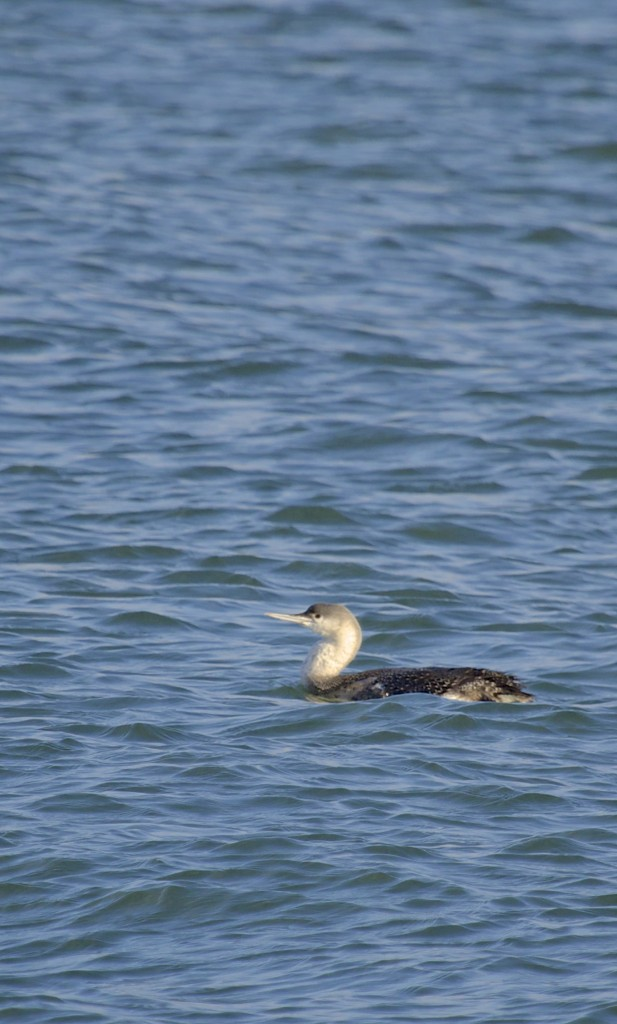 I have this as a Red-throated Loon, Eastern Long Island 12/26/13.