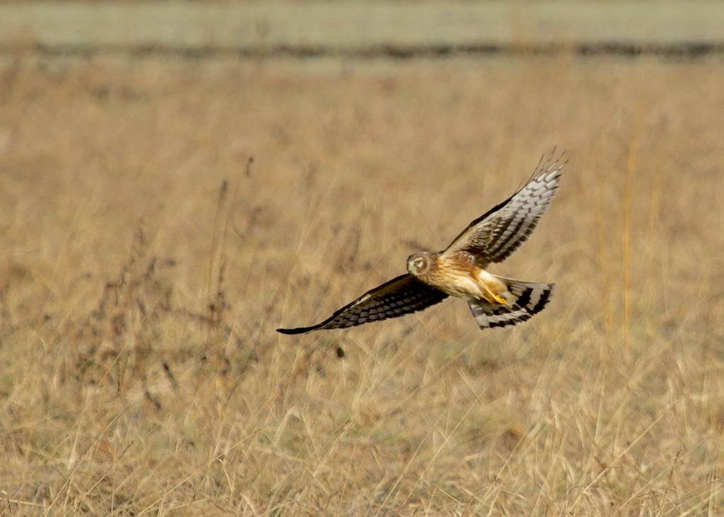 Northern Harrier at Indiana Road in Orange County NY, 12/27/13.