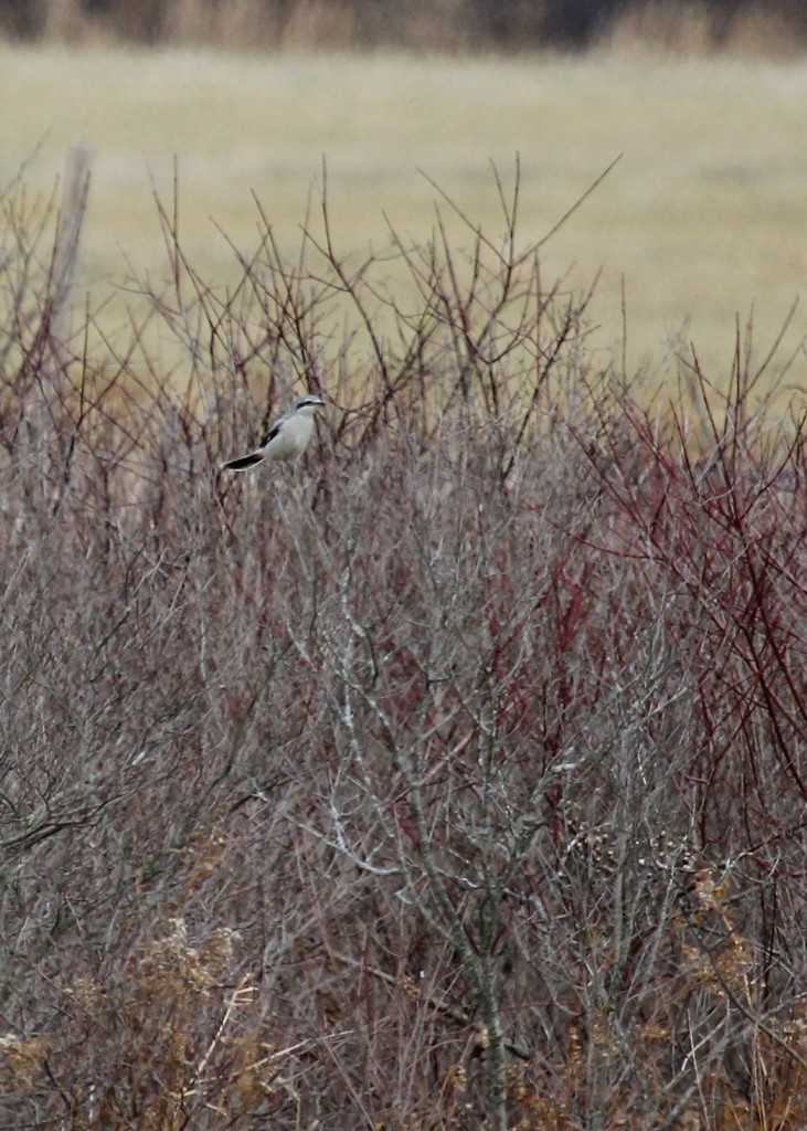 Northern Shrike at Lower Wisner Road, 12/1/13.
