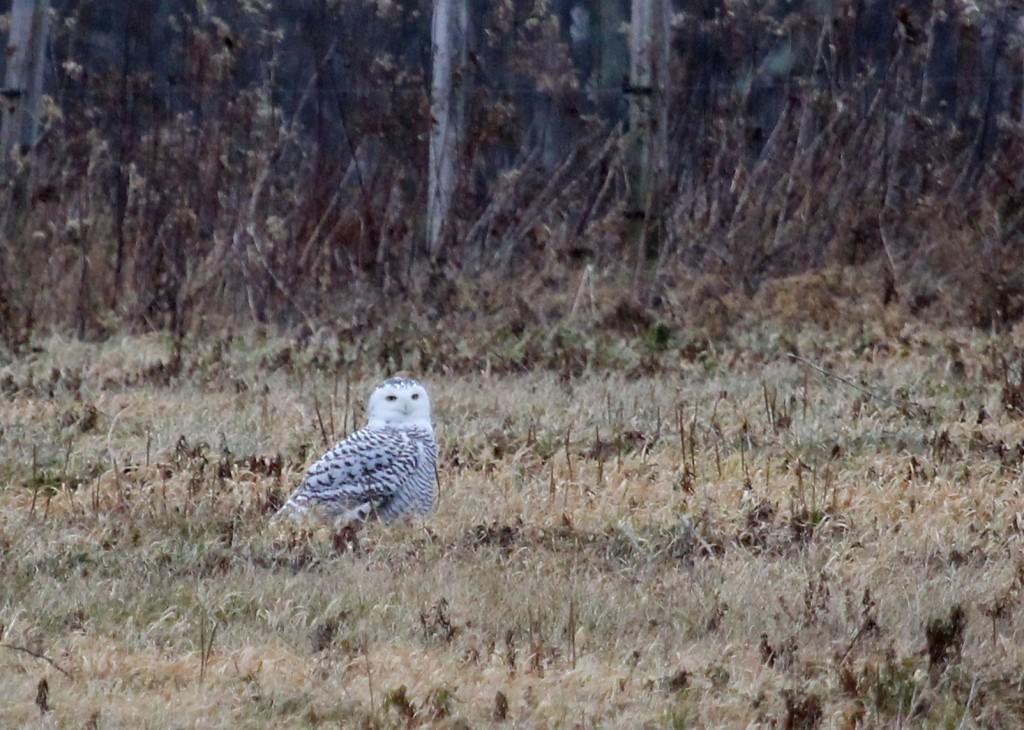 Snowy Owl in Bethel, Sullivan County NY 12/1/13.